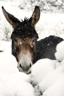donkey-winter